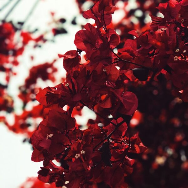 Red tree photo by dopely.top