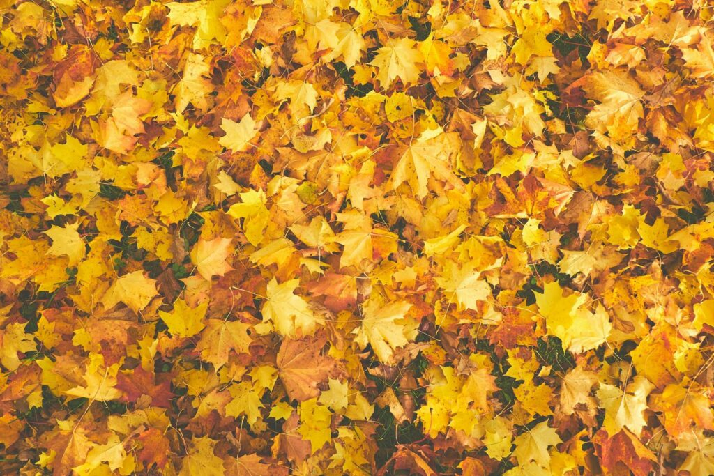 monochrome color photography of yellow autumn leaves