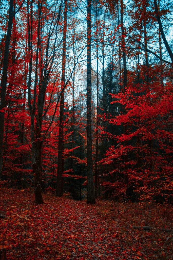 forest with red leaves
