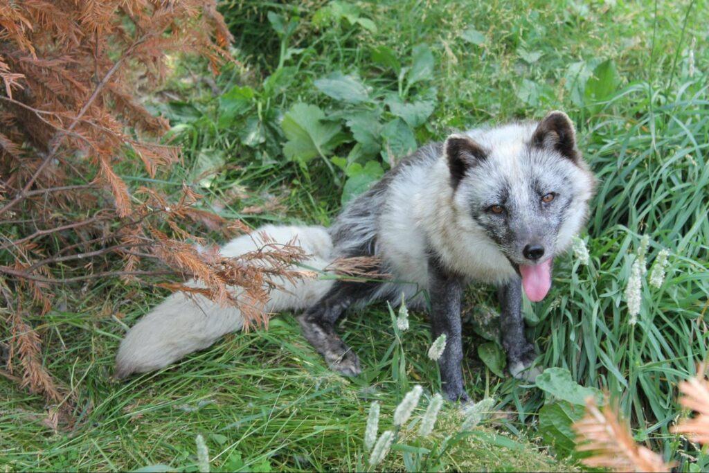 a silver fox