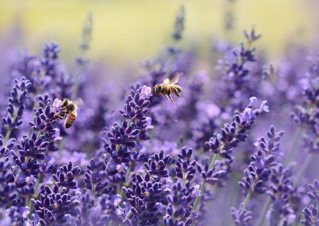 photo of lavender for color symbolism