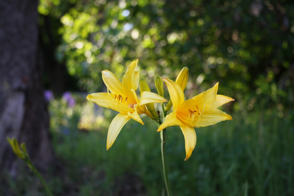 two yellow lilies on a stalk in nature