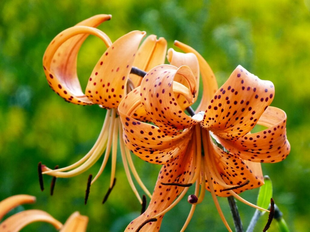 two tiger lily that has orange petals and black points on it
