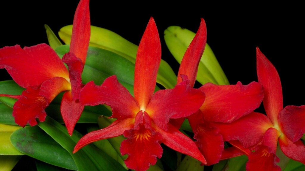 THREE RED ORCHID FLOERS WITH YELLOW BORDER