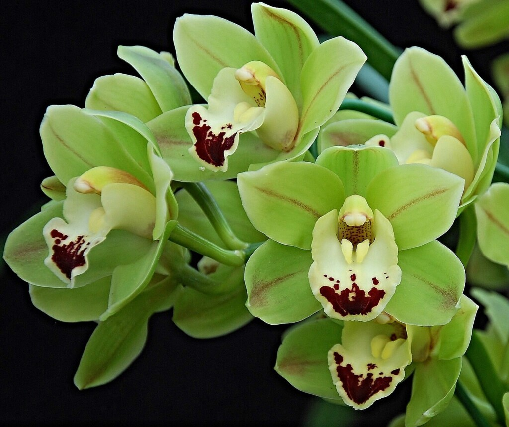 GREEN ORCHID FLOWERS WITH RED BORDER