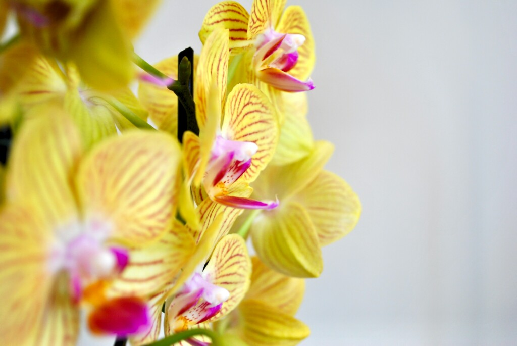 YELLOW ORCHID FLOWERS WITH PINK BORDER