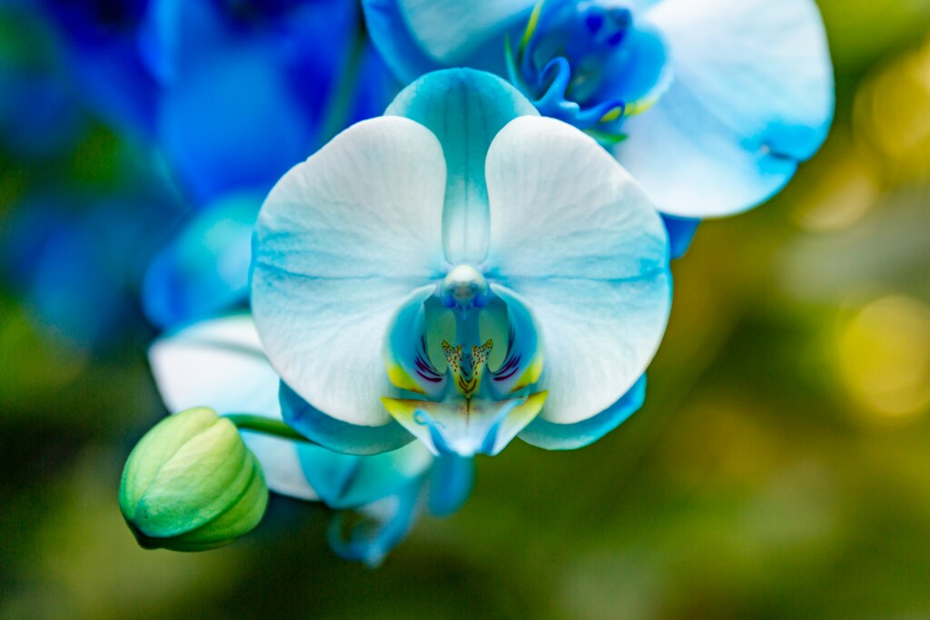 BLUE ORCHID WITH YELLOW BORDER