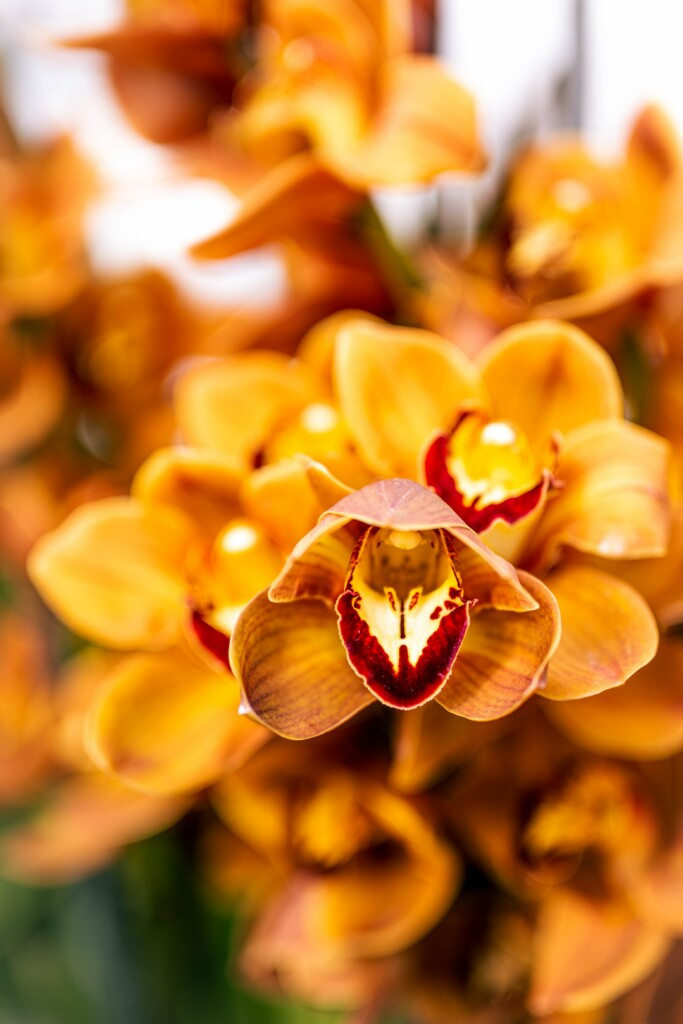 ORANGE ORCHIDS WITH DEEP RED BORDER