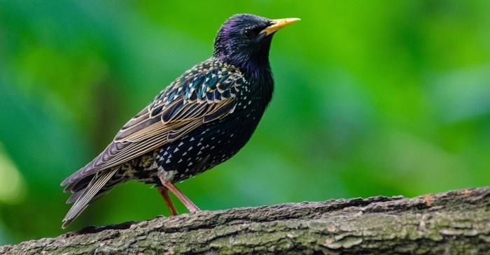 black European starling