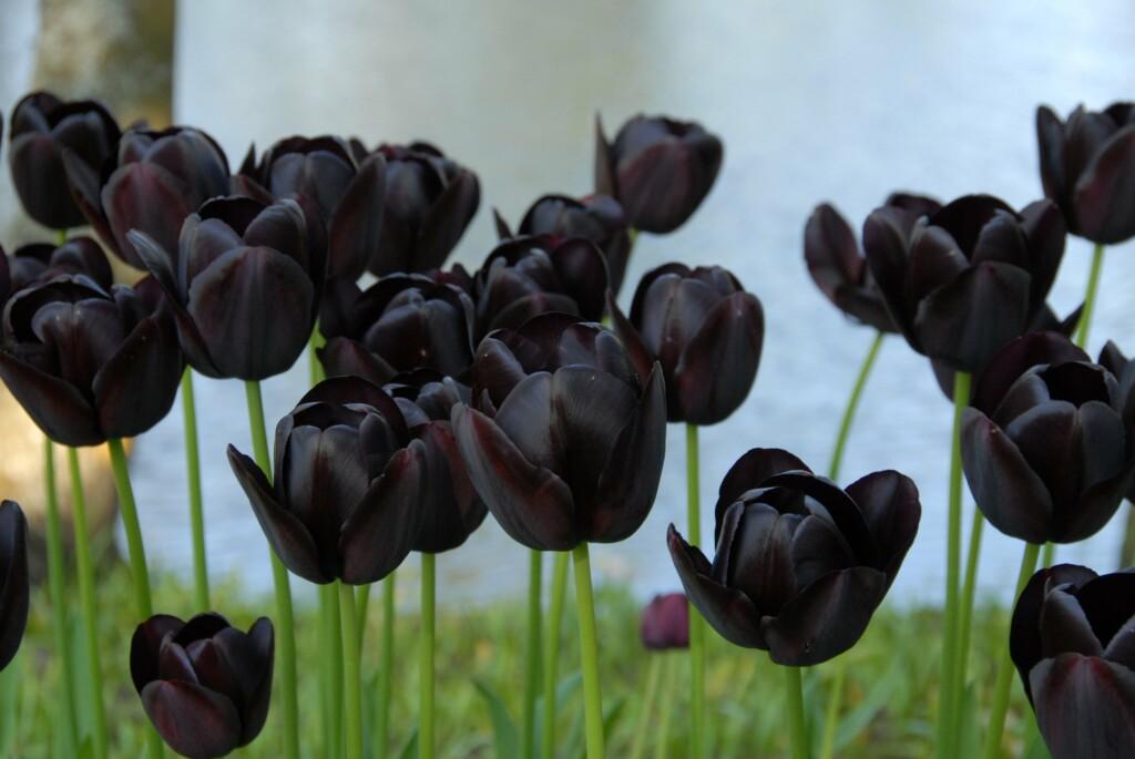 black night tulip, featuring black flowers