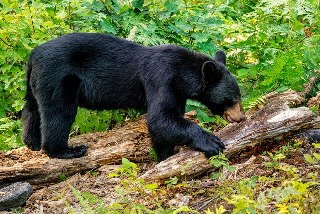 black bear in woods, black animals in nature