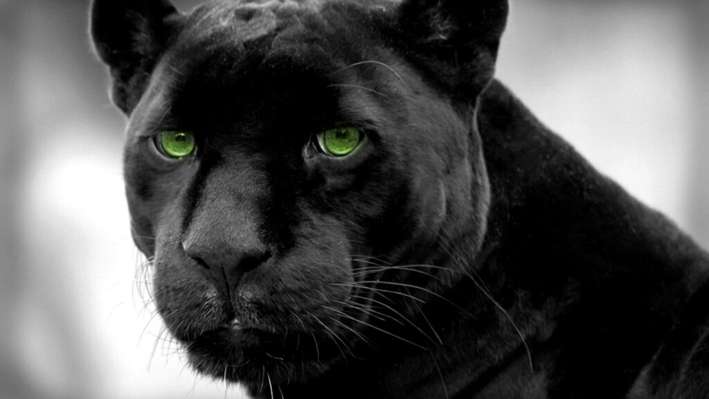 black panther with green eyes, featuring black animals in nature