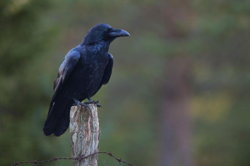 black common raven, black birds in nature