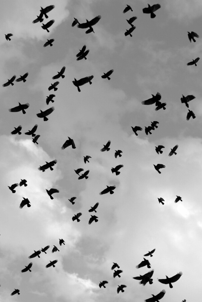 crows flying in the gray sky
