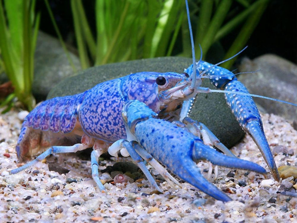 blue crayfish in the sea