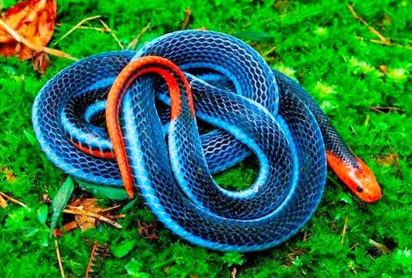 blue animals Blue coral snake in the nature