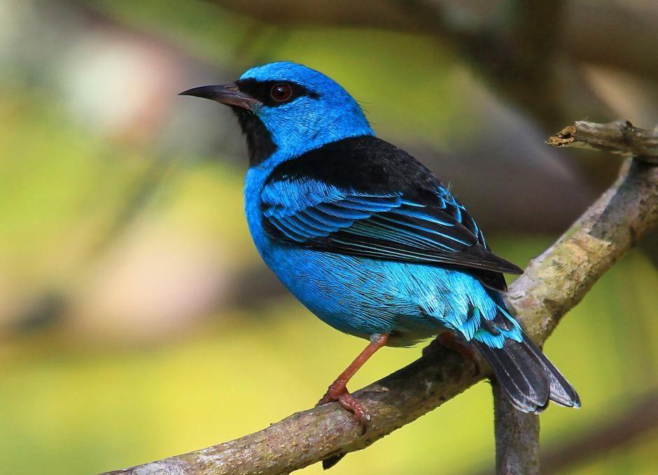Blue dacnis sitting on a tree