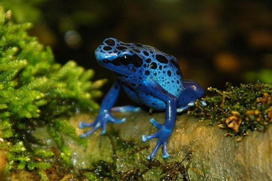 Blue poison dart frogs with black dapples