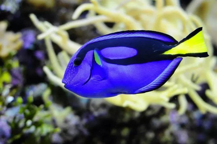 photo about Blue surgeonfish in the sea