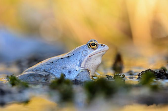 The blue moor frog