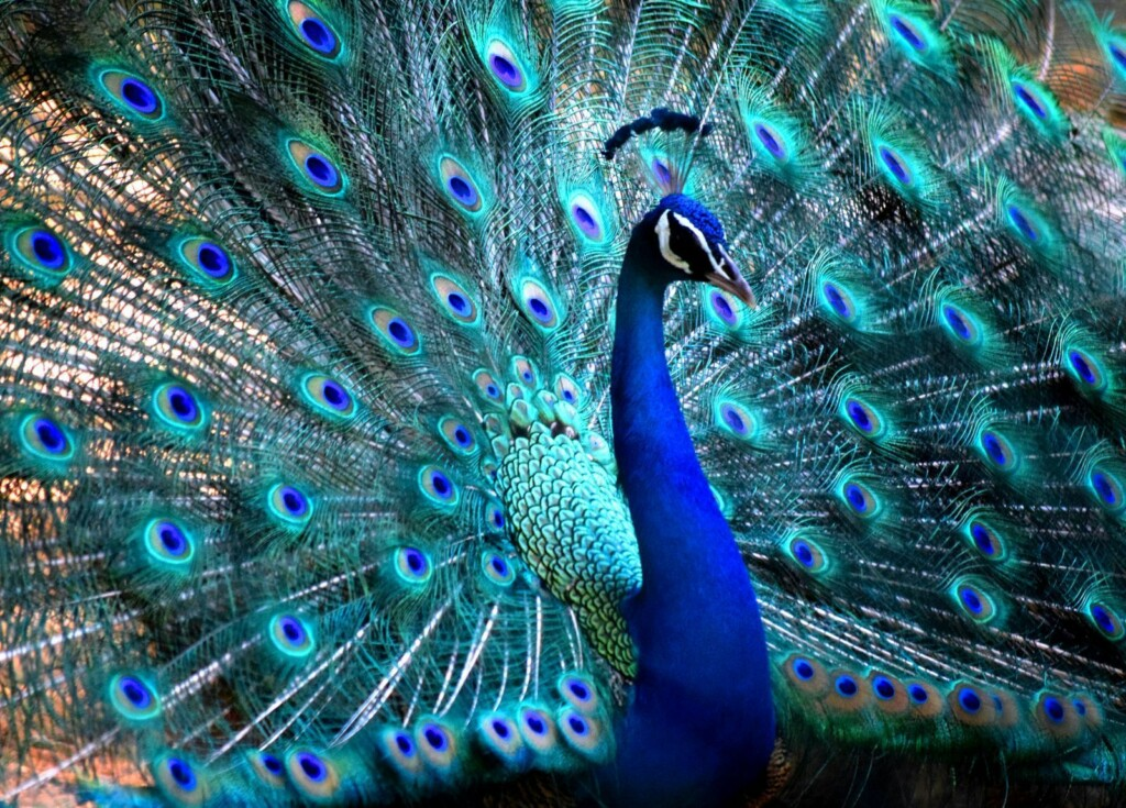 blue animals male Peacock
