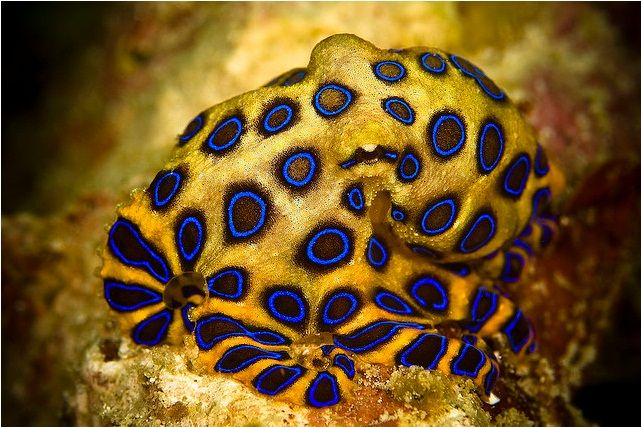 Greater blue ringed octopus with yellowish body