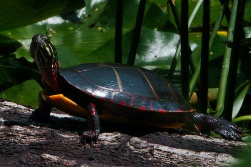 black tortoise at the jungle