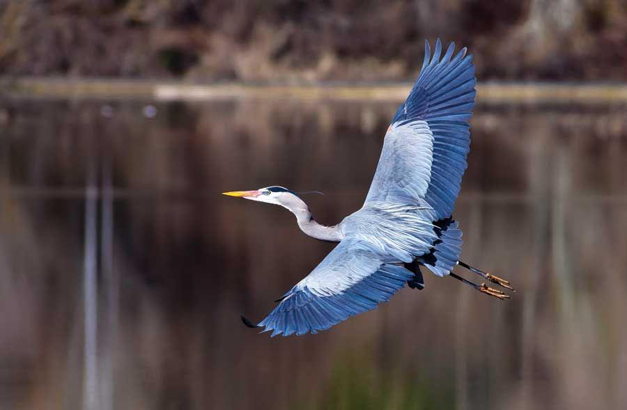 photo of flying little blue heron