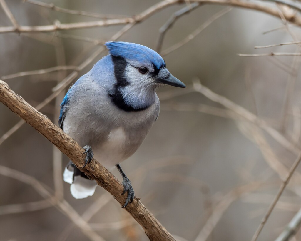 blue animals blue jay on the tree