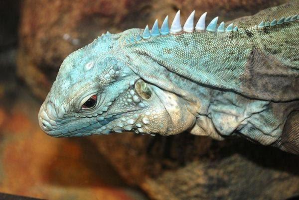 photo about Blue iguana