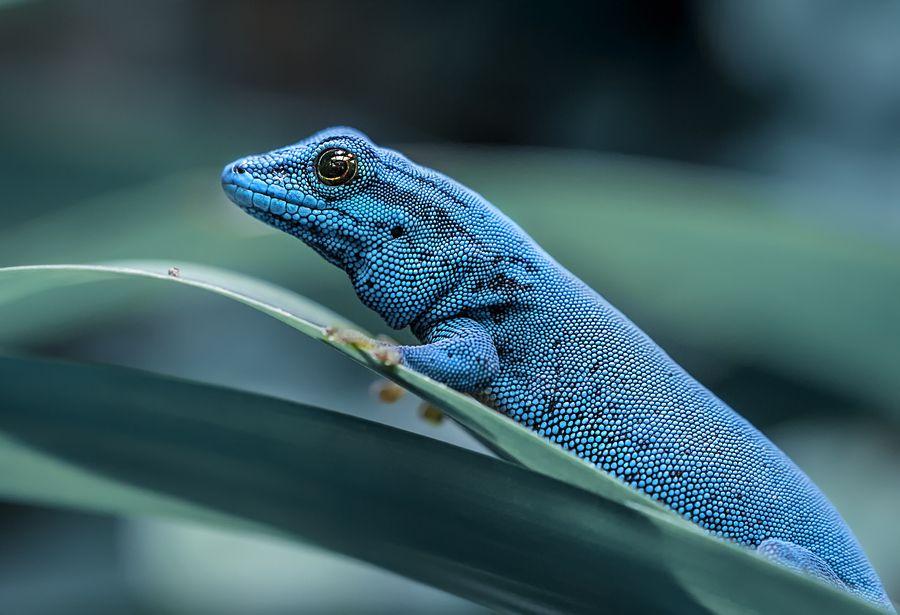 blue animals Tanzania electric blue gecko