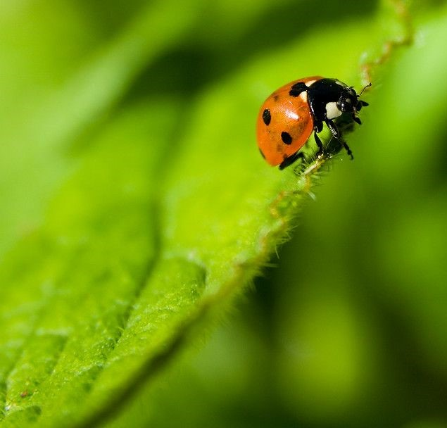 red ladybug on the green leave, dominant and recessive colors