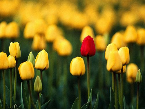 one red tulip among many yellow tulips, dominant and recessive colors
