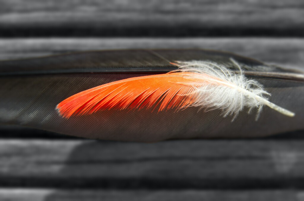 an image of an orange feather with white tips on gray background.