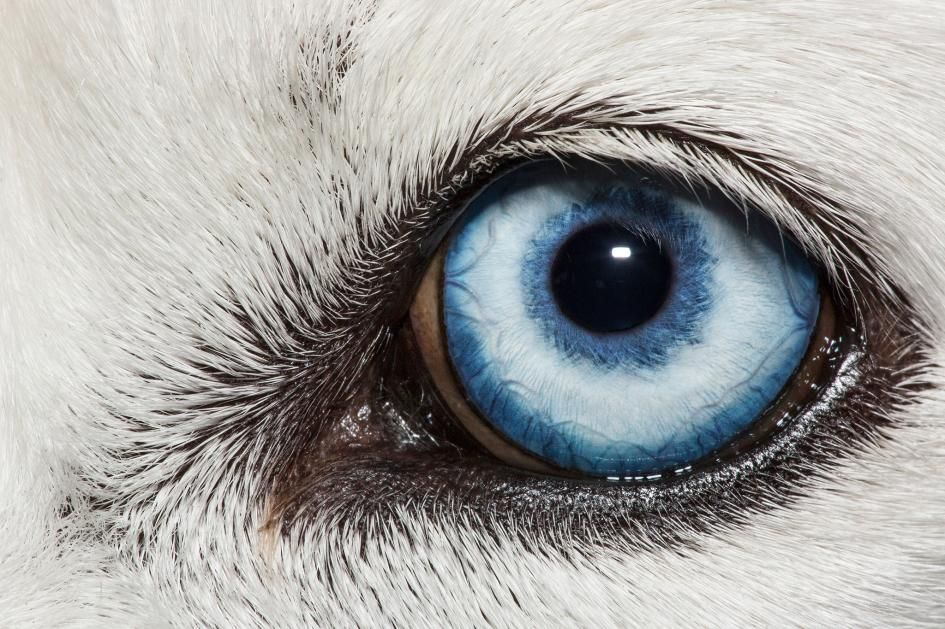 how dogs see colors one blue eye of a huskie dog
