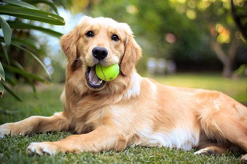 photo about how dogs see colors a dog with a yellow ball in the mouth